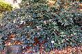 Rhododendron hippophaeoides - Botanischer Garten Braunschweig - Braunschweig, Germany - DSC04352.JPG