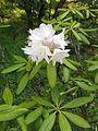 Rhododendron japonoheptamerum var. hondoense 5.JPG