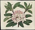 Rhododendron maximum Wellcome L0067157.jpg