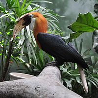 Rhyticeros plicatus -Lincoln Park Zoo-8a-3c.jpg