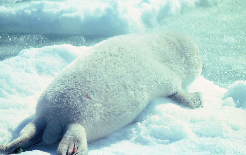Ribbon seal pup on the ice