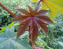 Ricinus communis (castor oil plant) at Bandlaguda 002.JPG