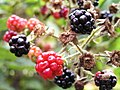Ripe and unripe blackberries on branch.jpg
