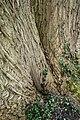 Rombergpark-100330-11369-Pterocarya-fraxinifolia.jpg