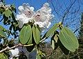 Rombergpark-100406-11978-Rhododendron.jpg