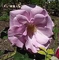 Rosa-blueberryhill.jpg