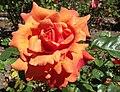 Rosa-easydoesit.jpg