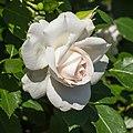 Rosa 'Aspirin Rose' (actm) 01.jpg
