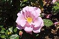 Rosa 'Blueberry Hill'.JPG