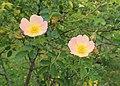 Rosa 'Lord Penzance' kz01.jpg