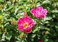 Rosa 'Pea Glow' (d.j.b) 01.jpg
