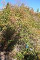 Rosa banksiae var. normalis - Quarryhill Botanical Garden - DSC03669.JPG