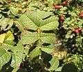 Rosa rubiginosa leaf (20).jpg