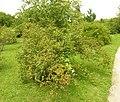 Rosa rubiginosa plant (05).jpg