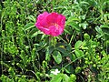 Rosa rugosa Sakhalin 2.JPG