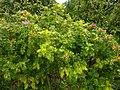 Rosa rugosa plant (02).jpg
