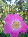 Rosa villosa Petalen gewimpert BOGA.jpg