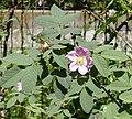 Rosa villosa inflorescence (04).jpg