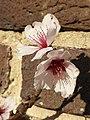 Rosales - Prunus dulcis 'Ingrid' - 4.jpg