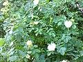 Rosales - Rosa canina - 13.jpg