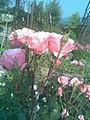Rosales - Rosa cultivars 9 - 2011.07.11.jpg
