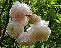 Rosarium Baden Rosa 'Champney's Pink Cluster' Champney 01.jpg