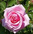 Rosarium Baden Rosa 'Crescendo' Noack 2003 01 (cropped).jpg