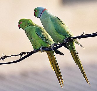 Rose-ringed parakeet - Female on left and male on right (Psittacula krameri manillensis)