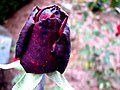 Rosebud And Raindrops (251960554).jpg