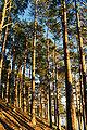 Rothiemurchus Forest.jpg