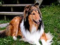 Rough Collie KC.jpg
