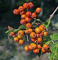 Rowan berries Finland.jpg