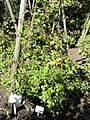 Rubus hystricopsis - Botanischer Garten, Frankfurt am Main - DSC02441.JPG