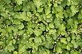 Rubus parvifolius 01.jpg