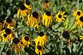 Rudbeckia fulgida during the Summer heat.JPG