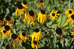 Rudbeckia fulgida during the Summer heat