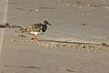 Ruddy Turnstone, Lower Rio Grande Valley NWR (5610875748).jpg