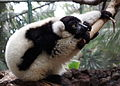 Ruffed lemur in zoo.jpg