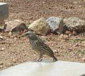 Rufous-tailed Weaver. Histurgops ruficaudus - Flickr - gailhampshire.jpg