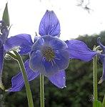 Ruhland, Grenzstr. 3, Akelei im Garten, Blüten, Frühling, 04.jpg