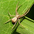 Running Crab Spider (30559740173).jpg