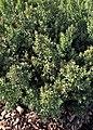 Ruscus aculeatus kz02.jpg