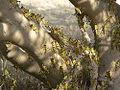 S. gregaria L5 hoppers climbing tree.jpg