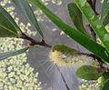 S. virginica on M. gale.jpg