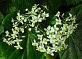 SDC11299 - Begonia odorata (Schiefblatt).JPG