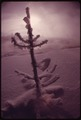 SPRUCE COATED WITH SNOW IN ISH RIVERS COUNTRY OF THE PACIFIC NORTHWEST. NEAR SEATTLE - NARA - 555071.tif