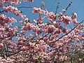 Saint Petersburg. Chinese Garden. Sakura tree2021 05.jpg