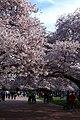 Sakura @ University of Washington, Seattle (7055927919).jpg