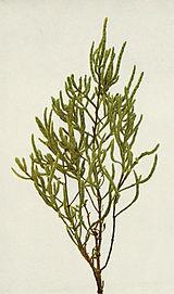 Salicornia depressa WFNY-049B.jpg