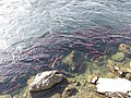 Salmon run at Adams River 2010 (5074068561).jpg
